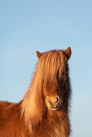 Horse, Icelandic Horse, Animal, Brad Geddes Photography, Icelandic Animals