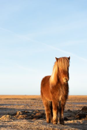 Horse, Icelandic Horse, Animal, Brad Geddes Photography, Icelandic Animals, Morning Light