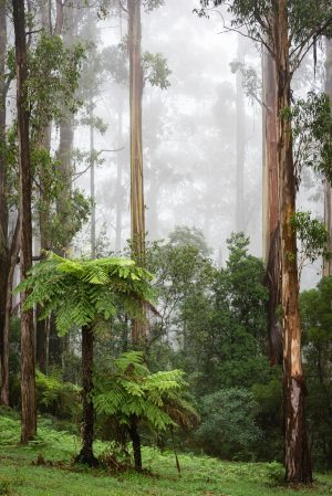 Forest, Dandenong Ranges, Fog, Brad Geddes Photography