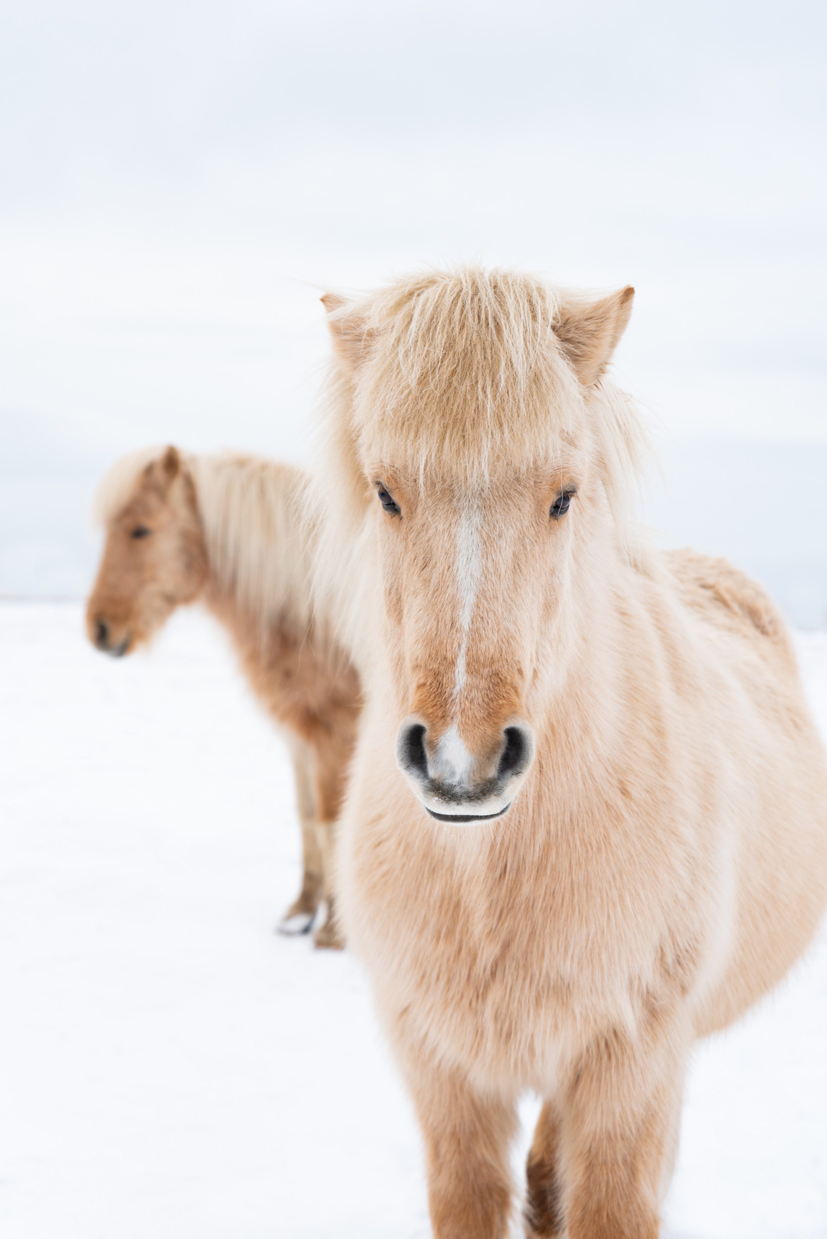 Horse, Horses, Icelandic Horse, Iceland Horse, Icelandic, Iceland, Brad Geddes Photography